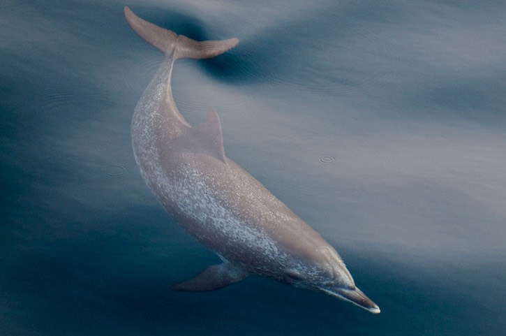 011---Atlantic-spotted-dolphin---MEB 5494