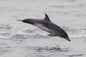 127---Atlantic-spotted-dolphin---MM7 9052