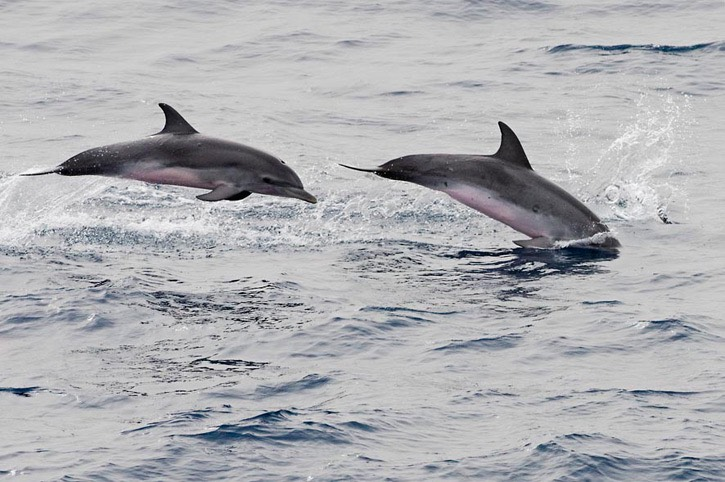 127---Atlantic-spotted-dolphin---MM7 9051