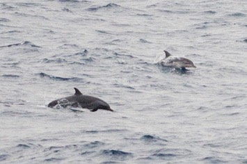 127-128---both-spotted-dolphins---MM7 9243
