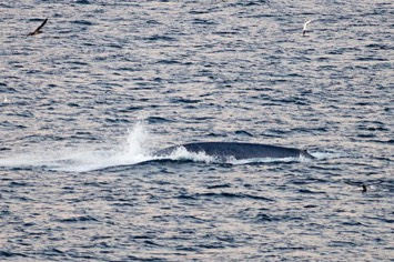 Blue-whale---MM7 0891