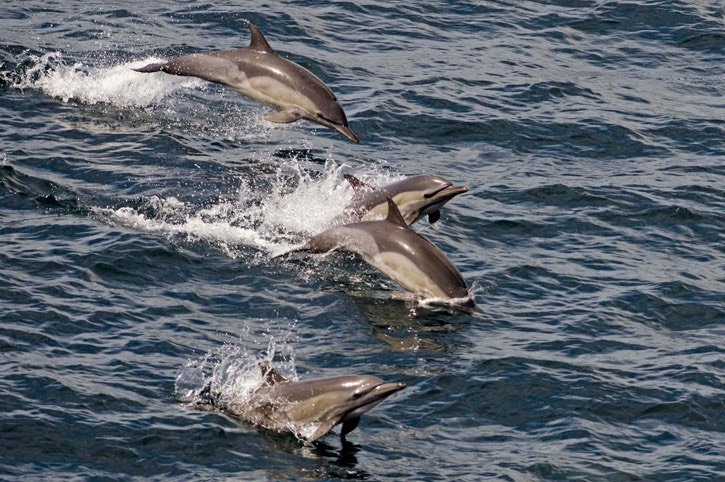 Common-dolphin---MM7 0949