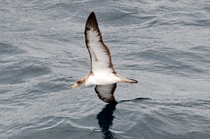 Cory's-shearwater-cutting-through-the-water---MEB 7457