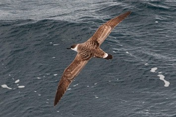 Great-shearwater---MEB 7466