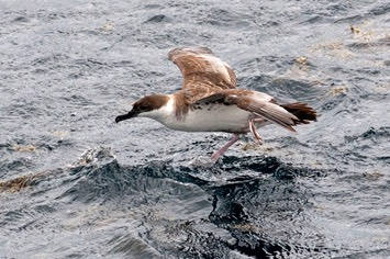 Great-shearwater-taking-off----MEB 7502