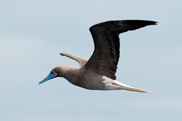 Red-footed-booby---MEB 8916