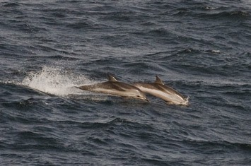 Striped-dolphin---MM7 1913