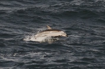 Striped-dolphin---MM7 1914